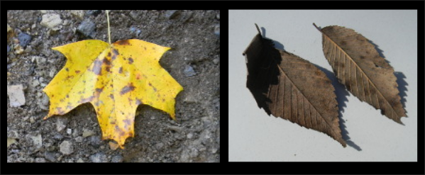 leaf_study